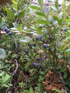 Francois blueberries